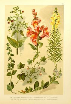 Figwort, Great Snapdragon, Toad-flax, Onze Flora, 1900