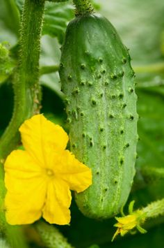 Cucumbers grown in the wrong conditions can become bitter or tasteless. Here is a simple tried and true tip for having the sweetest cucumbers in town .If you want your cucumbers to be sweeter simply plant them alongside sunflowers. As they grow, the cucumber tendrils will use the heavy sunflower stalks for climbing support and you'll have the sweetest cucumbers you've ever eaten. - add it to the sunflower fort.