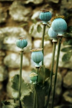 turquoise poppy seedheads