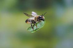 Biene schleppt Blatt - Schwerstarbeit in luftiger Höhe