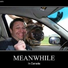 Moose in Canada.