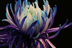 chrysanthemum in rich purples and many blues ascending into a white centre of petals. Stunning.