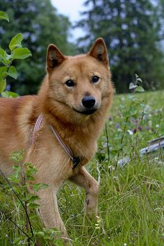 finnish spitz | by Sanglof