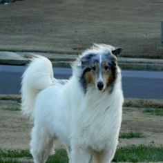 White Collie with Blue Merle head