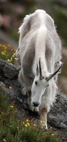 The mountain goat (Oreamnos americanus), also known as the Rocky Mountain goat, is a large hoofed mammal endemic to North America.