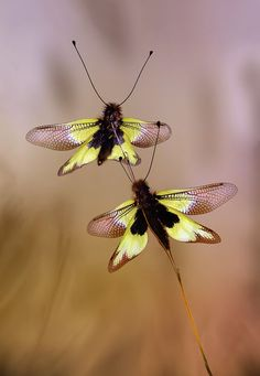 Owlflies are a dragonfly- like insect with large bulging eyes and long knobbed antennaes.