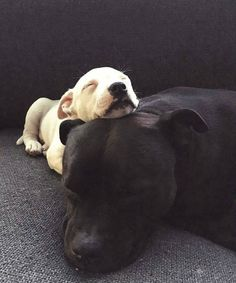 Pit Bull babies love relaxing with Mom