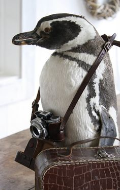 bon voyage, wonder if he will be going to FL. :) an adorable travling penguin. Penguin Love, Cute Penguins, Penguin Parade, Funny Penguin, Cute Baby Animals, Funny Animals, Wild Animals, Mundo Animal, Happy Weekend