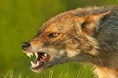 SAKERTOUR : Hungary, Romania, Slovakia - birding, birdwatching, mammal watching, hide-photography and bird-photography tours