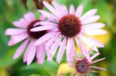 Bíbor kasvirág Chrysanthemum, Plants, Tie Dye, Young Living Congestion, Flowers, Chrysanthemums, Planters, Plant, Planting
