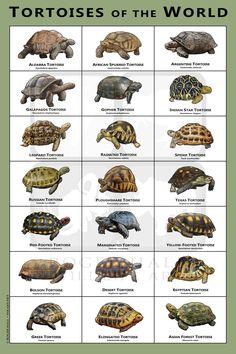 Tortoise House, Tortoise Habitat, Turtle Habitat, Tortoise Care, Tortoise Turtle, Baby Tortoise, Pet Turtle, Turtle Love, Red Footed Tortoise