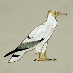 A hieroglyph of an Egyptian vulture Neophron percnopterus, from a tomb painting in Meidum   Artist Howard Carter   Date c.1892 -3