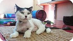 Fur Everywhere: Opt to Adopt Jake Handsome and affectionate Jake is up for adoption at Cat Care Society.