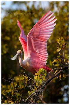 Roseate spoonbill Spoonbill By Nzeman on Deviantart, photographed in Sanibel Island, Florida.