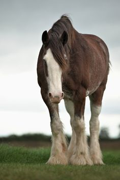 hohohorsesornothing: Shire Mare. (by ~Cabby~)༺ ♠ ŦƶȠ ♠ ༻