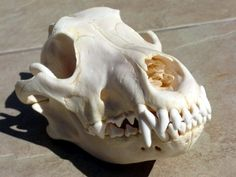 wolf skull REFERENCE SOLD by lamelobo on DeviantArt Skull Reference, Photo Reference, Dog Skull, Garden Sculpture, Lion Sculpture, Animal Skulls, Skull And Bones, Character Inspiration, Sculpting