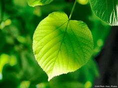 Basil Leaves, Green Leaves, Plant Leaves, Leave In, Linden Leaf, Free Plants, Deciduous Trees, Annual Plants, Medicinal Herbs