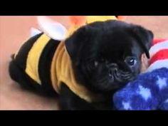 Bumble Bee Pug!!