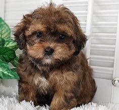 Rolling Meadows Puppies - Shichon Poo Puppies for Sale Poochon Puppies, Maltipoo Puppies For Sale, Maltipoo Dog, Cute Puppies And Kittens, Teddy Bear Puppies, Cute Baby Dogs, Cutest Dogs, Goldendoodles, Havanese