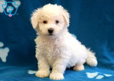 If you are ready for a lifetime of endless love, then you have found the puppy for you! This little dude will be your forever friend and your shadow Bichon Puppies For Sale, Cute Dogs And Puppies, Baby Dogs, Pet Dogs, Lhasa Apso Puppies, Bichon Frise, Snoodle Puppies, Cute Funny Dogs, Funny Pugs