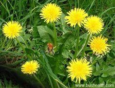 6 Benefits Of Dandelion Herbs!