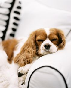 Animal Photo - A Cavalier King Charles Spaniel sleeping on a white couch