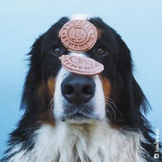 """"""" Iron, o equilibrista em: biscoitos @abarkeria  #UrsoDescabelado #equilibrista #TotalmenteConcentrado #NivelHard #ironbernese #barkeria #mimosepetiscos"""""""