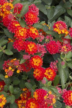 Radiation Bush Lantana - (all year long blooms)