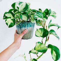 Do It Yourself Discover Ideas Planting Succulents, Garden Plants, Indoor Plants, Planting Flowers, Succulent Plants, Hanging Plants, House Plants Decor, Plant Decor, Plants Are Friends