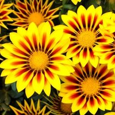 Fleurs gazania kiss yellow flame rouges et jaunes , Jardin Express