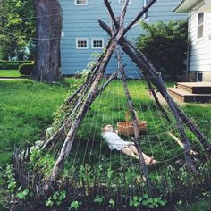 Tipi with sugar snap peas growing on it