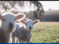 Petting zoos on the Gold Coast are great places to take the kids.Whether you like farm yard or bush babies, there is a petting zoo Weekender, Sheep Art, Baby Lamb, Woodland Nursery, New Moon, Zoo Animals, Wool Blanket, Minion, Cuddling