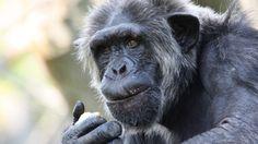 #Des marqueurs révélateurs de l'alzheimer observés chez le chimpanzé - ICI.Radio-Canada.ca: ICI.Radio-Canada.ca Des marqueurs révélateurs…