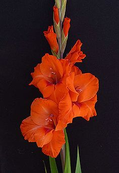 orange gladiolus flower - Google Search