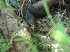 предсмертный крик лягушки