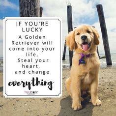 If you're lucky a golden retriever will come into your life, steal your heart and change everything.