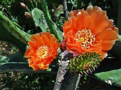 Fleurs de cactus, Barcelone