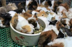 Cavies. Aren't they adorable? And they multiply fast.    Sooki, where are you?    #guineapigs #cavies