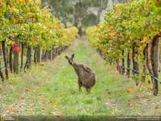 Photo and caption by Greg Snell  This is a Western Grey Kangaroo caught lounging in the wineries of the Adelaide Hills in South Australia. This past Autumn has been a spectacular time for wildlife viewing and I got lucky to spot this guy while mountain biking in the hills. Such a funny stance it just begs the question... Have you been drinking? ...and or... Are you here for the Winery Tour? Such a spontaneous moment I figured it would be perfect for an entry. I hope you like it! Cheers.