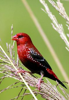 Red Avadavat or Red Munia (Amandava amandava). Found in fields of tropical Asia. photo: Sudip Bhattacharrya.