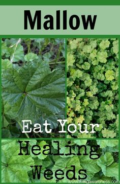 Better Living through healthy choices. Herbology and Herbal Use/Education. Better Living through healthy choices. Herbology and Herbal Use/Education. Permaculture, Medicinal Weeds, Edible Wild Plants, Herbs For Health, Health Tips, Wild Edibles, All Nature, Healing Herbs, Herbal Medicine