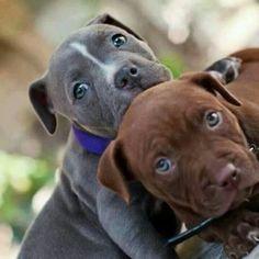 Pitbull pups #Puppy #Dogs