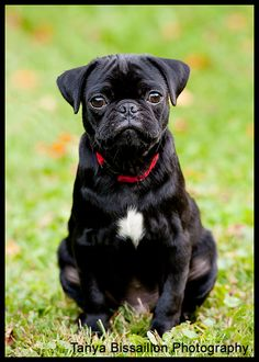 www.photographybytanya.com Pet Photography, dog, dogs, pugs, pug, pug puppy, cool dog, love pugs