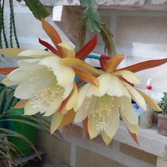My Epiphyllum Noid
