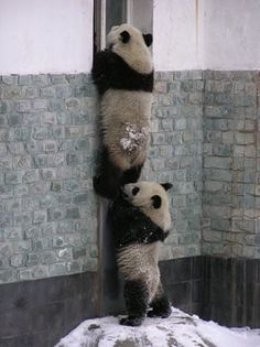 Photo of More Cute Pandas! for fans of Pandas 22122996 Animals And Pets, Baby Animals, Funny Animals, Cute Animals, Panda Love, Cute Panda, Beautiful Creatures, Animals Beautiful, Animal Pictures