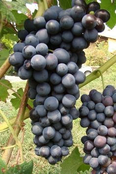"""Nebbiolo - #Wines made from Nebbiolo became the official wines of the court of the Savoys, who ruled Piedmont for nearly 800 years starting in the early 11th century. Barolo became known thus as the """"king of wines and the wine of kings.""""   http://www.snooth.com/varietal/nebbiolo/"""