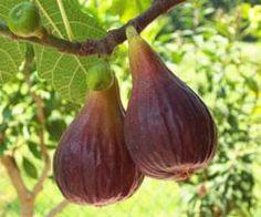 Fruittuin - Webshop - Fruittuin webwinkel Ficus car. 'Brown Turkey'  Vruchten zijn groot, stomp-kegelvormig en donker bruin, vruchtvlees is rose. Lekkere vruchten om uit de hand te eten.