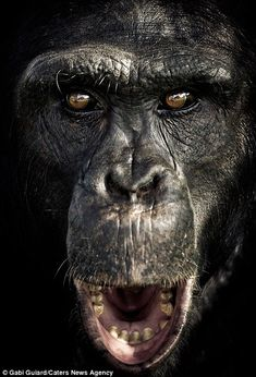 Gobsmacked: With its mouth gaping and eyes wide open, this chimpanzee looks more than a little amazed Primates, Mammals, Beautiful Creatures, Animals Beautiful, Cute Animals, Wild Nature, Animal Faces, Fauna, Orangutan