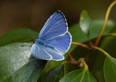Holly Blue (upperwing)