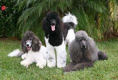 Gray parti poodle, Black parti poodle, and a Gray solid poodle :)